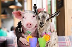 Pig and goat hugging while sitting in a cafe. With cocktails royalty free stock images