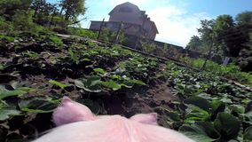 Pig goes on a farm stock footage