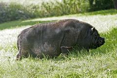 Pig in the grass Stock Image
