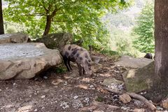 Pig graze in mountainous forest stock photography