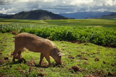 Pig Grazing in a Peruvian Field. Cloudy day in Peru with a pig grazing Stock Images