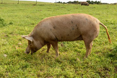 Pig on green field, Cornwall Stock Image
