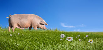 Pig on green field. With flowers Stock Image