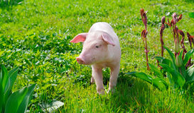 pig on a green grass Royalty Free Stock Photography
