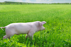 pig on a green grass Stock Photo