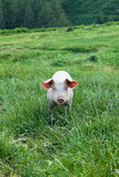 Pig on a green grass Royalty Free Stock Photos