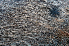 Pig hair (Texture) Stock Image
