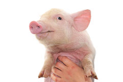 Pig in hands Royalty Free Stock Photo
