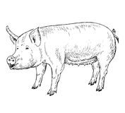 Pig hands drawing. Vector illustration of engraving pig hands drawing Stock Photo
