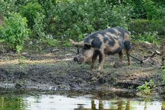 The pig has come out of the wood. royalty free stock images