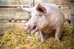 Pig on hay and straw. At pig breeding farm Stock Photos