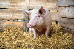 Pig on hay and straw Royalty Free Stock Photography
