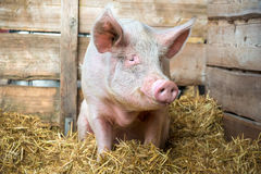 Pig on hay and straw. At pig breeding farm Royalty Free Stock Images
