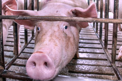 Pig head in a cage. The pig's head with long snout in a cage royalty free stock image