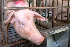 Pig head in a cage. The pig's head with long snout in a cage stock photo