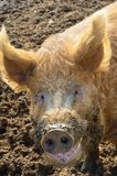Pig head in close up Stock Photography