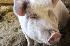 Pig Headed Stock Photo