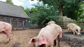 Domestic pigs. Pigs on a farm in the village. Swine covered in mud