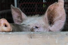 Pig in a barn stock photo