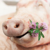 A Pig Holding a Small Bunch of Clovers, Snout of a Pig Royalty Free Stock Image