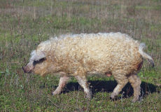 The pig of Hungarian breed Mangalitsa. Curly pig of Hungarian breed Mangalitsa goes on a meadow Royalty Free Stock Image