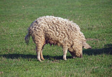 The pig of Hungarian breed Mangalitsa. Curly pig of Hungarian breed Mangalitsa  on a green meadow Royalty Free Stock Photography