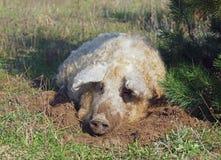 The pig of Hungarian breed Mangalitsa Royalty Free Stock Photos