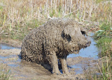 The pig of Hungarian breed Mangalitsa Stock Images