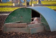 Pig in hut. A pig peeking out of its home at a high health farm in Angus, Scotland Royalty Free Stock Photography