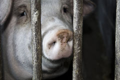 Pig i en stable Royaltyfria Foton