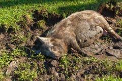 Pig i muden Royaltyfri Fotografi