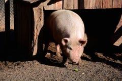 Pig i sty Arkivfoton