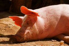 A Pig. This is a image of pig in farm stock photos
