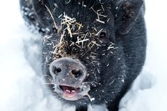 Free Pig In The Snow Covered With Straw Royalty Free Stock Photo - 109622315
