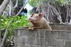 Unlucky Pig in Indonesia. Pig behind walls near the sea on the island Nusa Ceningan in Indonesia Stock Image
