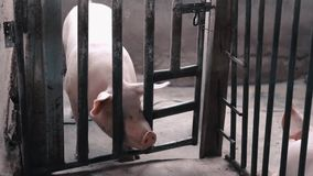 Pig inside cage in the farm. Pig inside cage in the dark and close farm stock video footage