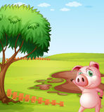 A pig introducing the pig farm Stock Photo
