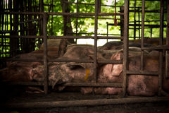 Pig  in iron stalls. Royalty Free Stock Photography