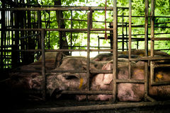 Pig  in iron stalls. Royalty Free Stock Image