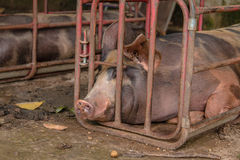 Pig  in iron stalls. Royalty Free Stock Images