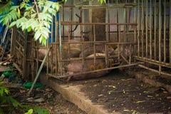 Pig  in iron stalls. Stock Photo