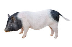 Pig Isolated Stock Photos