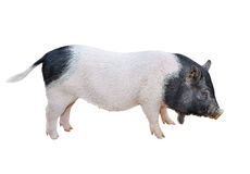 Pig isolated stock image