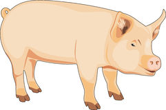 Pig isolated on the white Royalty Free Stock Image