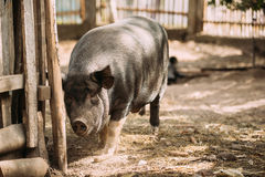 Pig Itches About The Fence In Farm Yard. Pig Farming Is Raising Royalty Free Stock Photos