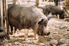 Pig Itches About The Fence In Farm Yard. Pig Farming Is Raising Stock Photography