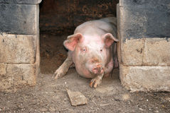 Pig in its pigsty. Pig peeping from his pigsty stock image