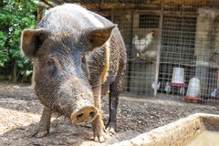 Pig Large Black Dirty Mud Farm Stock Image
