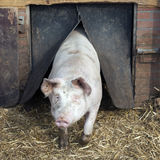Pig leaves barn on organic farm Royalty Free Stock Photo