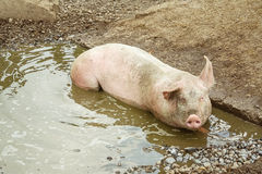 Pig lies in a puddle Stock Image